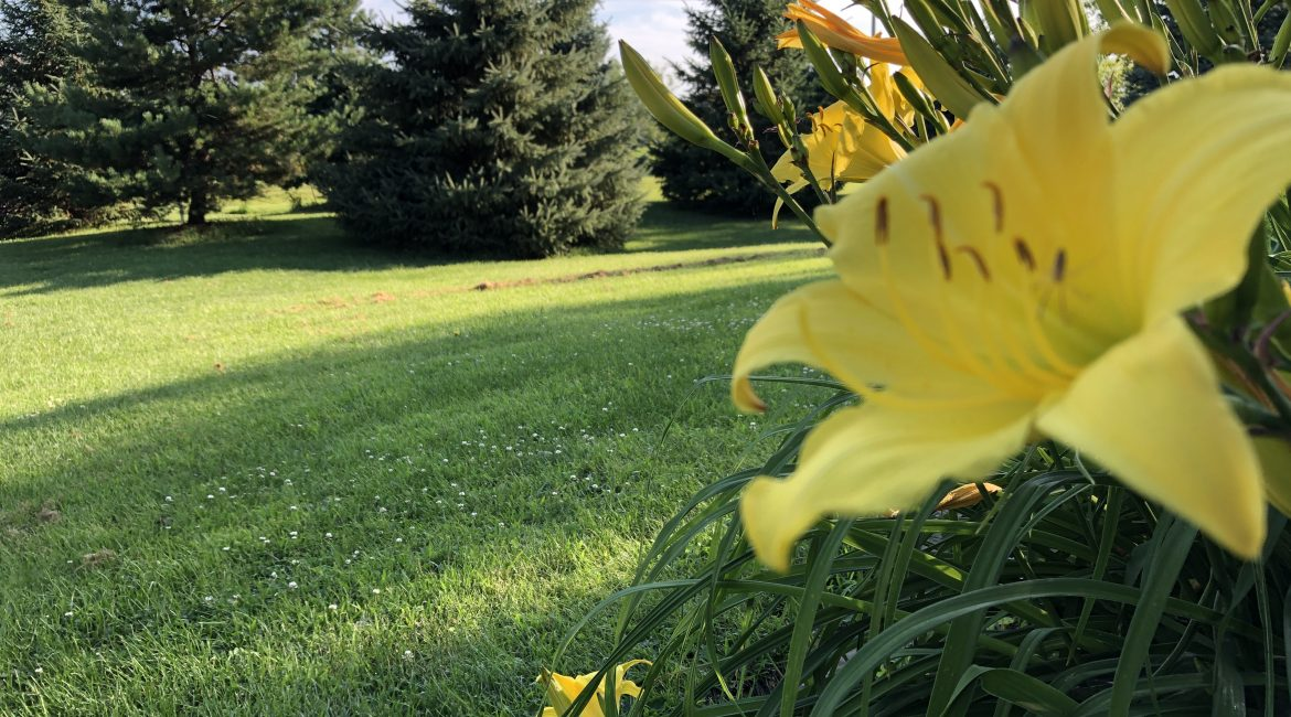 Yellow Lilly Flower Green Grass